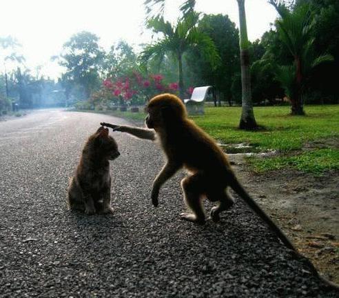 monos mascotas gatos