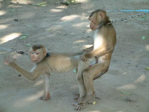 обезьяны секс фото