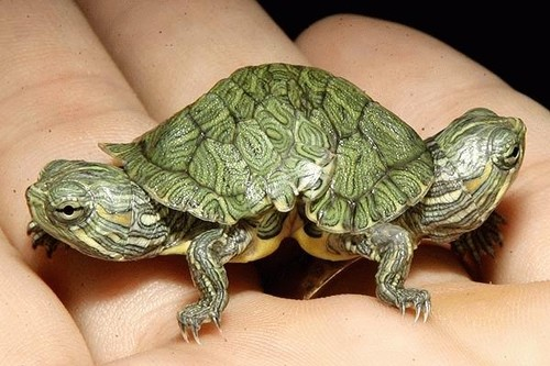 Mutant turtle has two heads