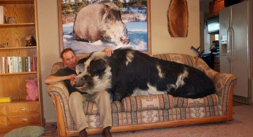 This is my pet pig, and he's huge
